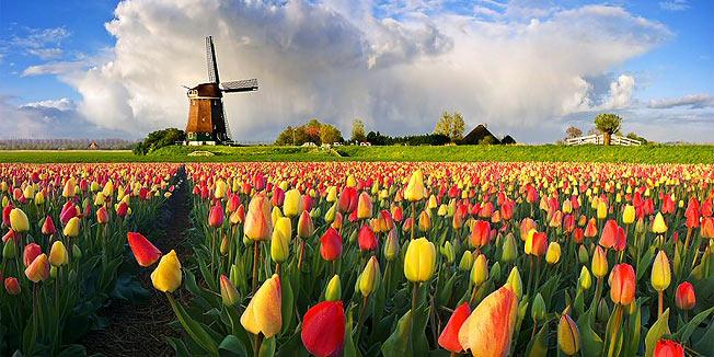 tulipani_vjetrenja_248065S1